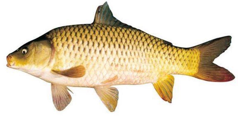 Cá chép giàu Vitamin D cho trẻ em